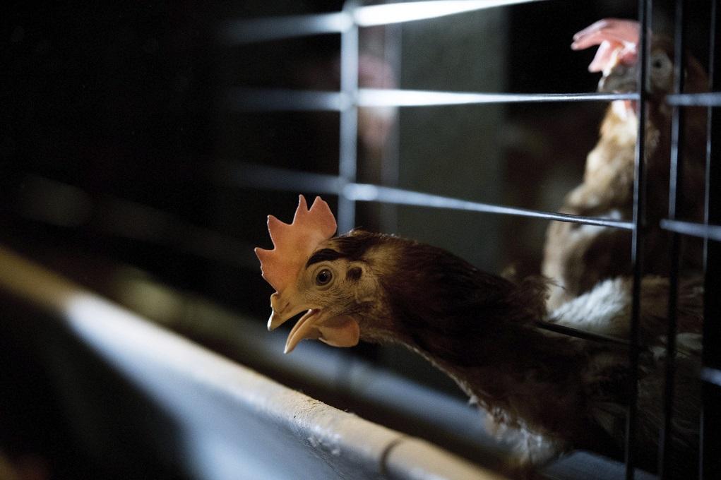 Γρίπη των πτηνών και στην Ουγγαρία – Σφαγιάστηκαν χιλιάδες κοτόπουλα